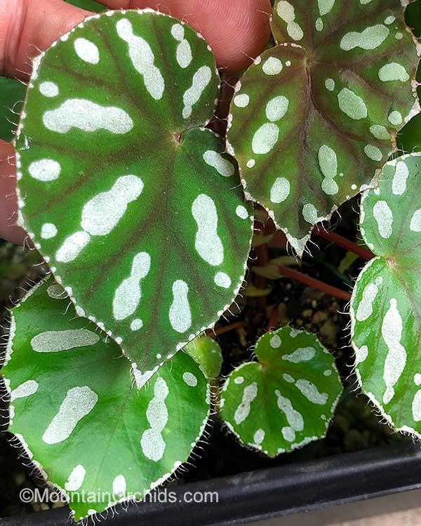 Begonia Jiewhoei