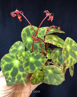 Begonia kingiana (mottled)