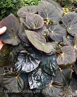 Begonia pavonina (Purple Leaf form - Peacock Begonia)
