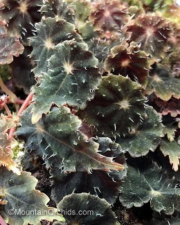 Begonia sp. (Gobenia section)
