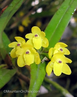 Scaphyglottis aurea 'Mountainside'