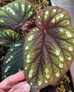 Begonia erectocarpa (form 2, more green)